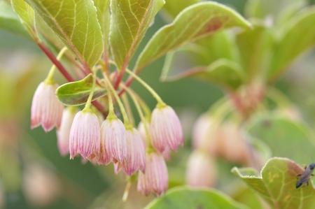 ericaceae: Salassadudan Stock Photo