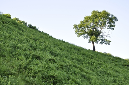 aceraceae: Hill wood