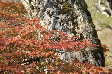 broad leaf: Rhododendron leaves