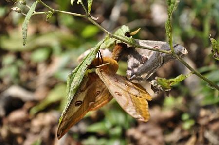 Copulation of butterflies