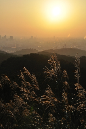 the pampas: Japanese pampas grass in the morning sun
