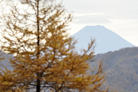 Yellow leaves of larch and Mt. Fuji