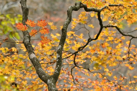 acer palmatum: Maple leaves