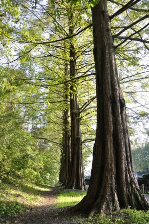 hinoki: Metasequoia trees