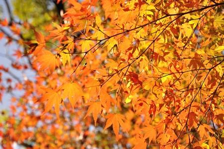 acer palmatum: Autumn pattern