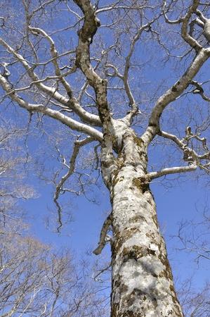 Blue Sky beech wood