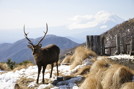 Tanzawa deer at Fuji Mountain