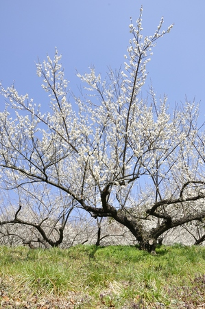 Plum tree Stock Photo