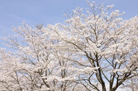 Cherry Blossom blue sky Фото со стока