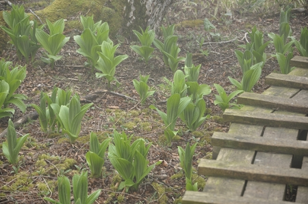 Young leaves of the mountain walkway and Veratrum album