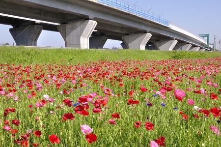Poppy flower garden and metropolitan inter-city Expressway