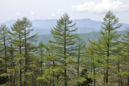 Larch forest in green and daibosatsurei