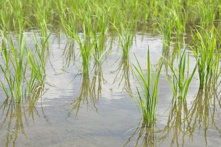 Fields of summer's rice Stockfoto