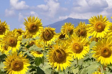 Flower garden of sunflowers in full bloom Stock Photo