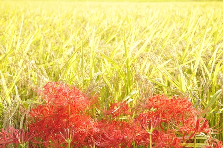 Rice fields and lilies blooming season