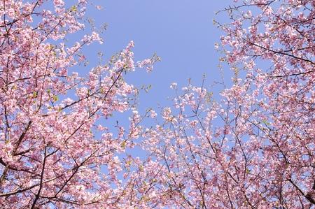 Kawazu cherry blossom in the blue sky