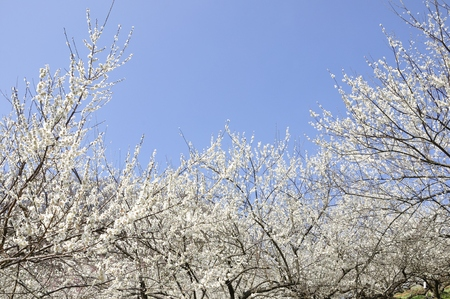 Plum blossom  Park