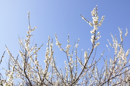 Plum blossom in spring