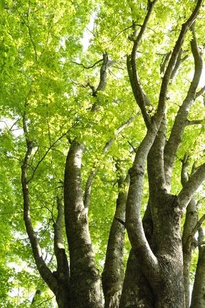 Maple mapling green fresh