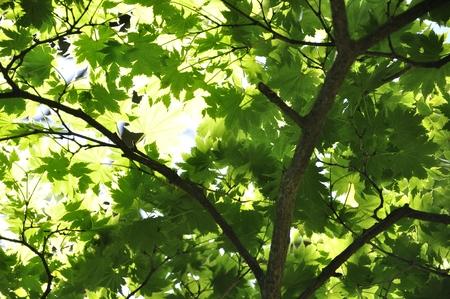 Hauchi waka maple