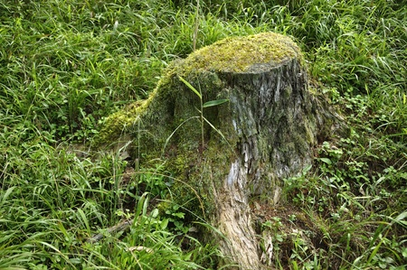 Stump of the forest