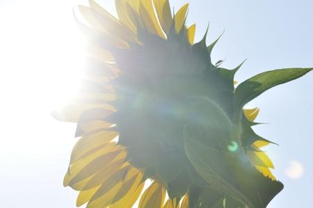Sunflower shining