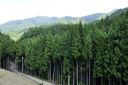 Afforestation zone of Murokubo Forest Road and Primary border ridge