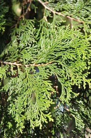 Needles of Chamaecyparis obtusa