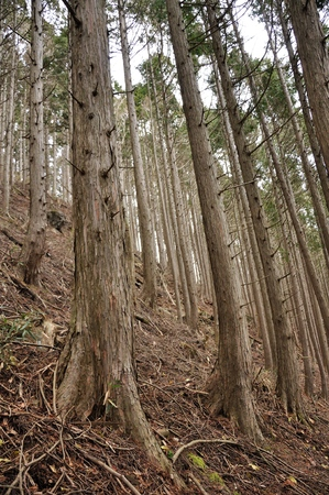Plantation forest
