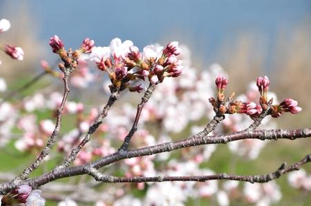 Sakura tree Stock Photo