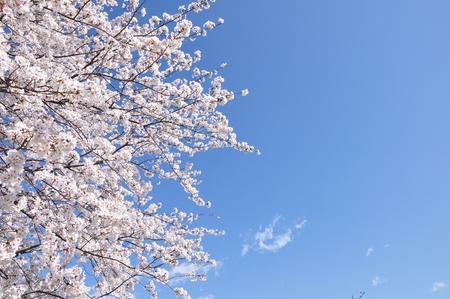 Cherry Blossom copy space Stock Photo
