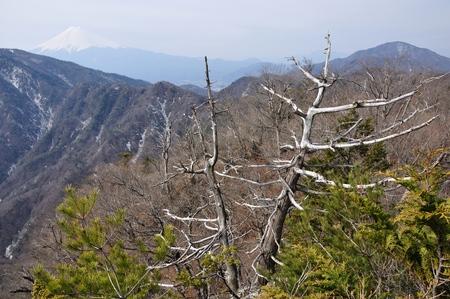 Trees on Mt. Fuji