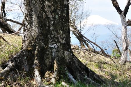 Beech tree on Mt. Fuji
