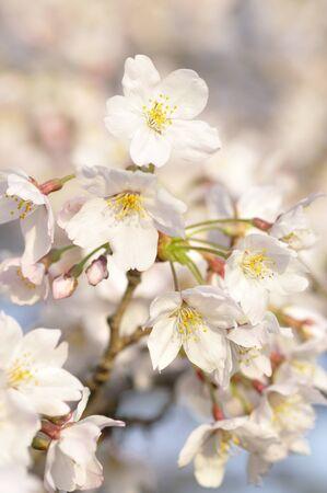 Spring Sakura blooming