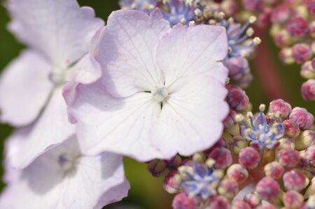 Hydrangea Grun Hertz Imagens