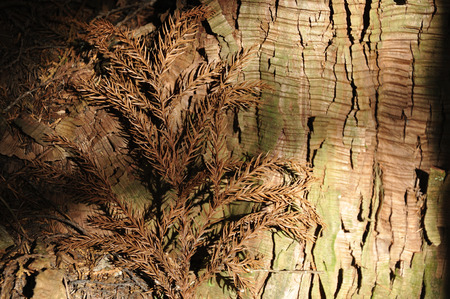 Cedar in oblique 写真素材