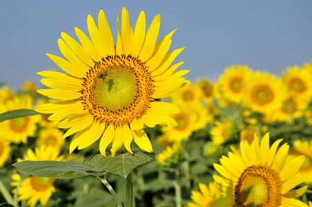 Sunflower Foto de archivo