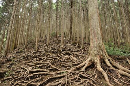 Root Forest