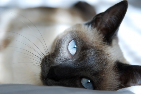 blue siamese cat:  Siamese cat with blue eyes, rests on bed,