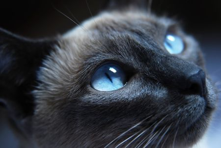 Close up to Siamese cat with blue eyes Stock Photo - 4010088
