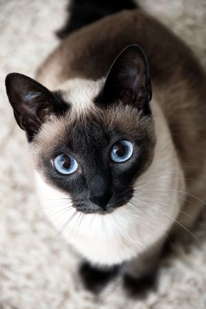 blue siamese cat: Siamese cat with blue eyes, curious look