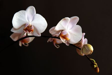 Blossoming white orchid on black background photo