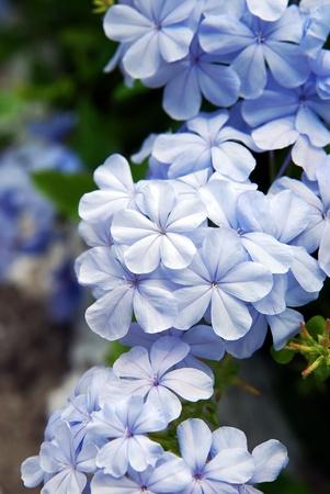 jasmine bush: Blue Jasmin flower