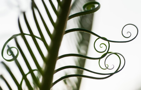 Beautiful Curly Young Palm Tree Leaves Sprouts