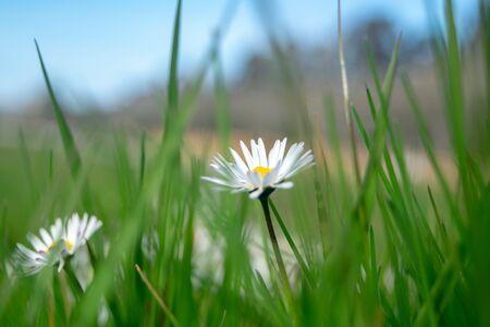 Daisy love flower in green grass