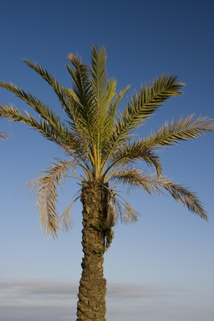 closeup of a palm tree on a blue sky with little clouds photo