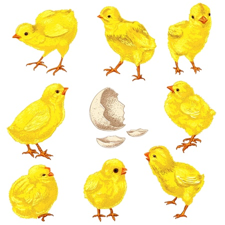 easter chick: Easter chick set. Hand drawn  illustration isolated in white. Illustration