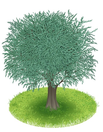 Olive Tree in green field, illustration Vector