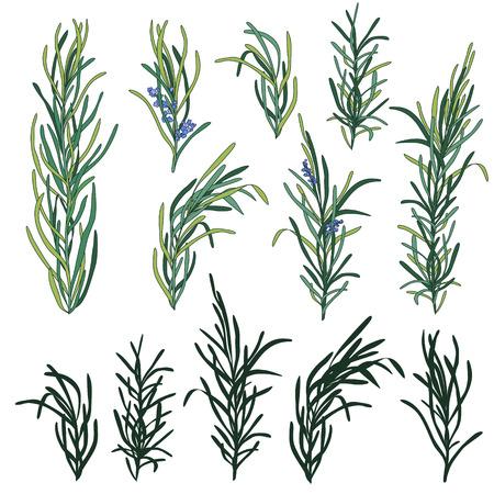 rosemary: Rosemary or Rosmarinus vector clipart set isolated.