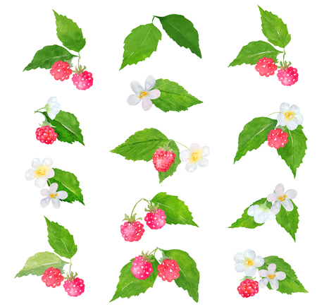 raspberries: Watercolor raspberry clip art or arrangements separated on white background. Clipping path included. Fast isolation. Hand painted. Raster illustration.